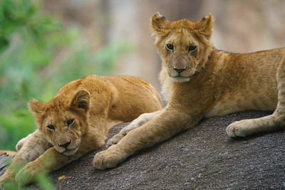 Lion Cubs, Serengeti National Park, Tanzania