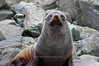 Fur seal<br /> Kaikoura, New Zealand