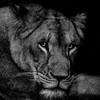 Lion watching me watching her