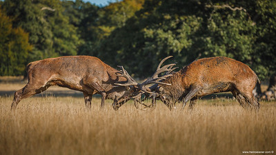 Red Deers - rut season.