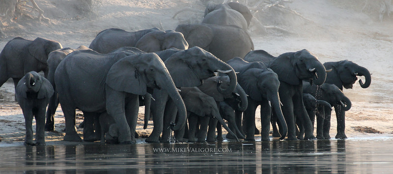 Herd of Elephants on the Chobe River<br /> Botswana