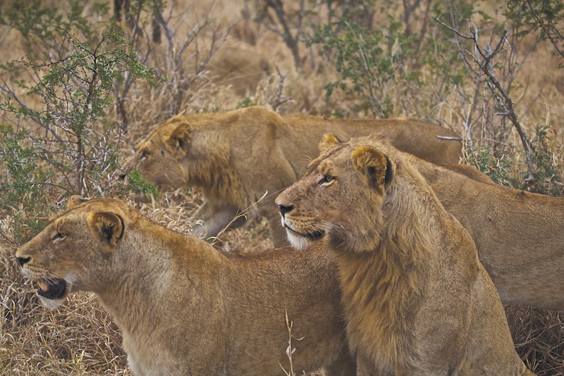 Lions on the Hunt