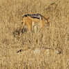 Black-backed Jackals - Ngala