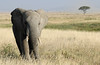Elephant on the savannah<br /> Serengeti, Tanzania