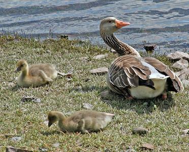 Curious Greylag goose