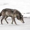 Tundra Wolf 0244