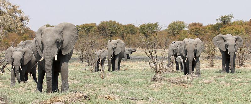 Elephant herd<br /> Moremi, Botswana