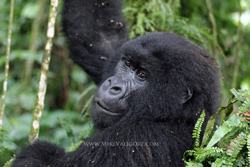 'Noel'<br /> Juvenile mountain gorilla in Virunga National Park