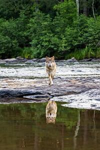 Gray Wolf 1605
