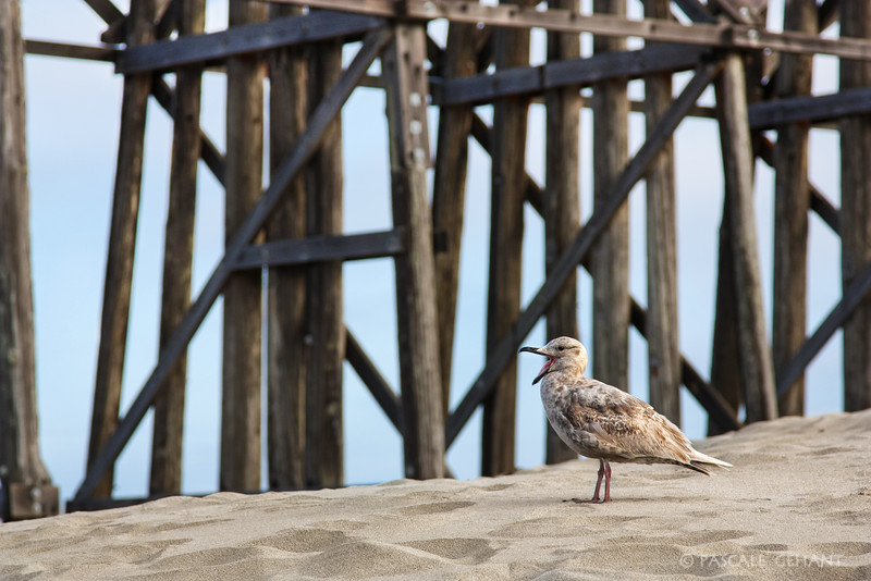 Female seagull quacking