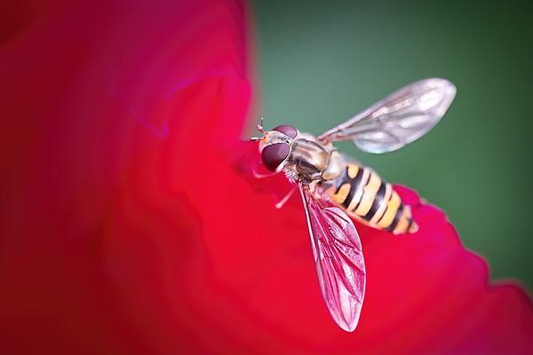 Marmalade hoverfly