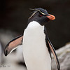 Rockhopper Penguin<br /> New Island, Falklands<br /> GPS  -61.3117,  -51.7172