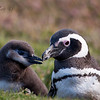 Magelan Penguin with Chick<br /> New Island, Falklands<br /> GPS -61.2712,  -51.6971