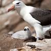 Black Browed Albatros with Chick<br /> New Island, Falklands<br /> GPS -61.2639,  -51.6925
