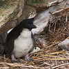 Rockhopper Chick<br /> New Island, Falklands<br /> GPS -61.2646,  -51.6925