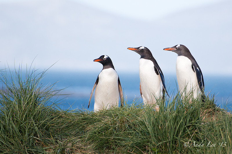 Gentoo Penguins<br /> West Point, Carcass Island, Falklands<br /> GPS  -60.5224,  -51.3114