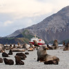 Fur Seals<br /> Right Whale Bay, South Georgia Island<br /> GPS  -37.6942,  -54.0089