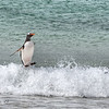Gentoo Penguin<br /> New Island, Falklands<br /> GPS -61.2535,  -51.6894