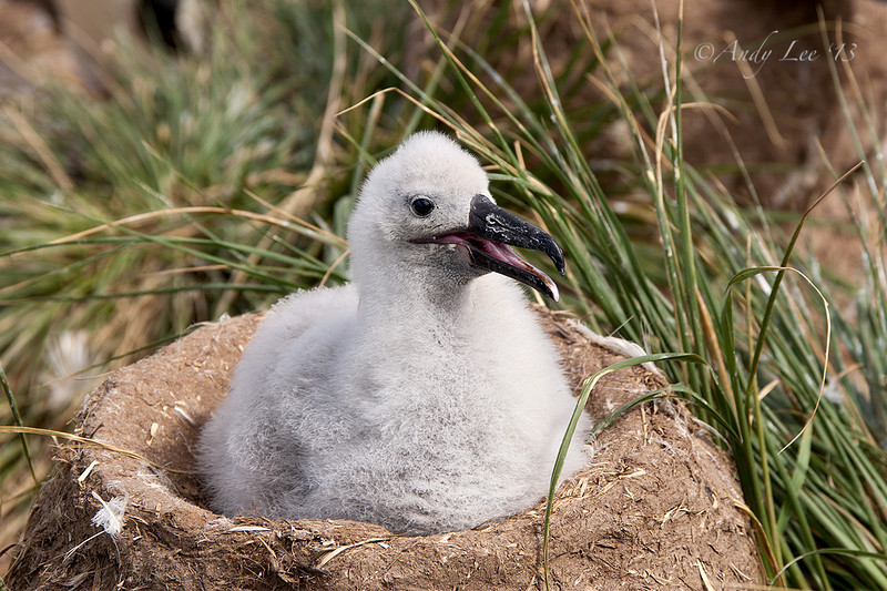 Black Browed Albatross Chick<br /> Steeple Jason Island, Falklands<br /> GPS  61.2280,  -51.0351
