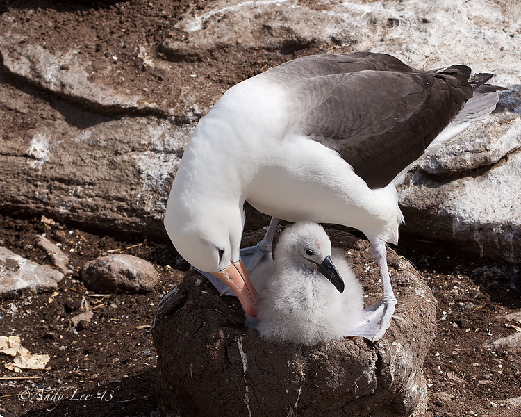 Black Browed Albatros with Chick<br /> New Island, Falklands<br /> GPS -61.2633,  -51.6922