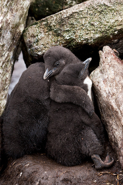 Rockhopper Chicks<br /> West Point, Carcass Island, Falklands<br /> GPS  -60.7128,  -51.3495