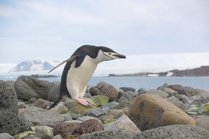 Chin Strap Penguin.