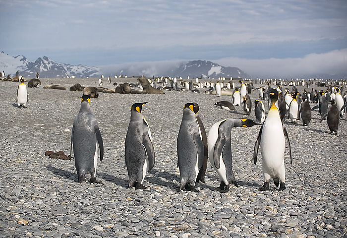 King Penguins at South Georgia. John Chapman.