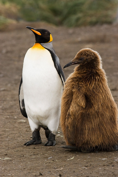 King Penquin with chick.