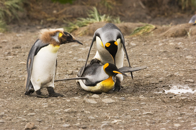 King Penquins trying to copulate.