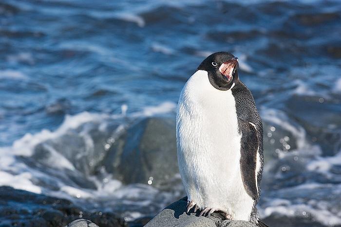 Adele Penguin. John Chapman.