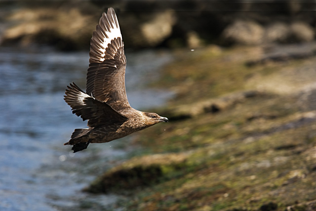 Great southern Skua.