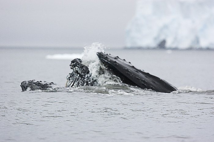 Humphback Whale.