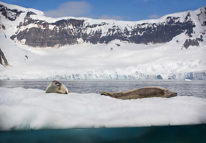 Crab Seals. John Chapman.