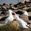 Black-browed Albatrosses billing and cooing