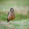 Austral Thrush: one of the few songbirds on the Falklands