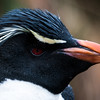 Rockhopper Penguin -- Falkland Islands