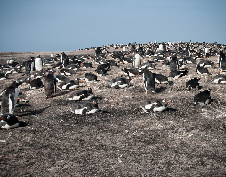 Gentoo nesting colony