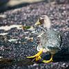Falklands (flightless) Steamer-duck