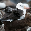 Black-browed Albatross on its nest