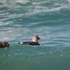 Falklands Flightless Steamer-ducks