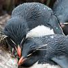 Rockhopper Penguin mates grooming