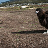 Pair of Striated Caracaras that walked to 2' of me