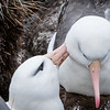 Black-browed Albatrosses -- mate grooming