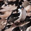 Imperial Cormorant Courtship