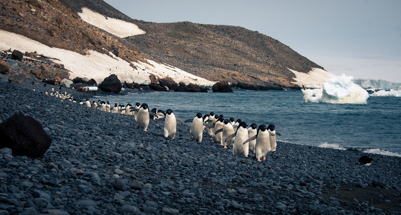 Adelies from hill to sea. All the black dots are pengins