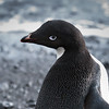 Adelie, Brown Beach, Antarctic Peninsula  December 2013