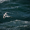Cape Petrels