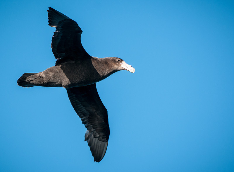 Southern Giant Petrel (young bird)
