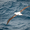 Wandering Albatross, near South Georgia Island, Antarctic Ocean