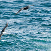 Black-browed Albatross & Giant Petrel